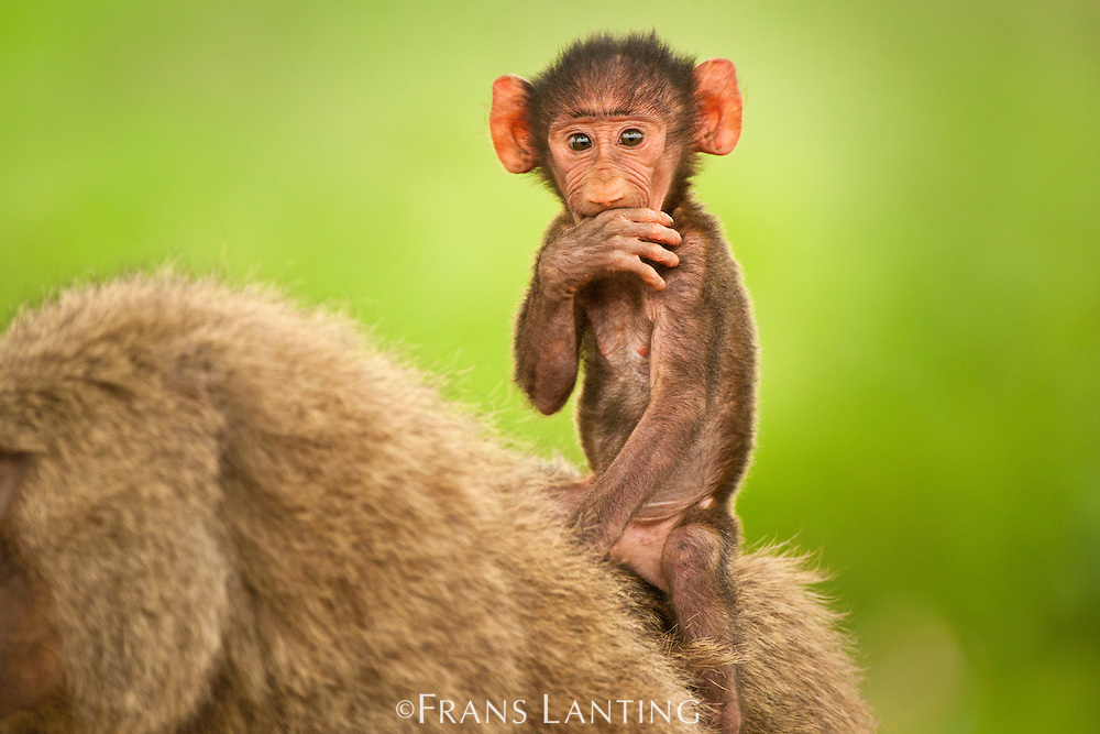 Baboon infant riding on mother's back, Papio cynocephalus, Mole National Park, Ghana