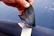 Shark finning, Mexico, Pacific Ocean