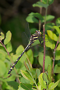 Arrowhead Spiketail<br /> Cordulegaster obliqua<br /> young male<br /> Ouachita National Forest<br /> McCurtain Co., Oklahoma<br /> 7 May 2011