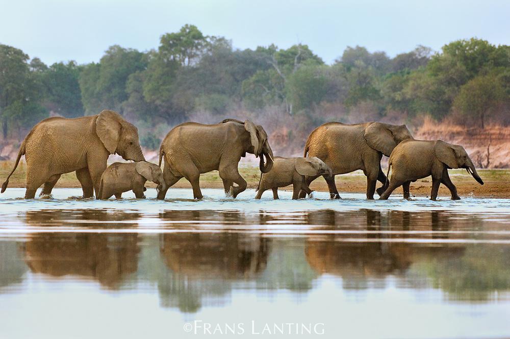 Elephants crossing Luangwa River, Loxodonta africana, Zambia