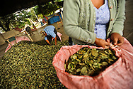 Granato Oriana, 67, (left) packages dried coca leaves for sale at the Sacaba coca market in Cochabama, in the tropical lowlands of Bolivia.