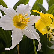 """A white Avalanche Lily (Erythronium) grows next to a yellow Glacier Lily on Tolmie Peak, Mount Rainier National Park, Washington, USA. Published in """"Light Travel: Photography on the Go"""" by Tom Dempsey 2009, 2010."""