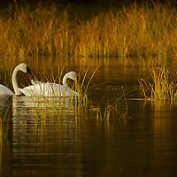 Each October Trumpeter Swans migrate to Potter Marsh and other wetlands along the Seward Highway, where they fill up on roots prior to their long migrtaion to warmer climates.