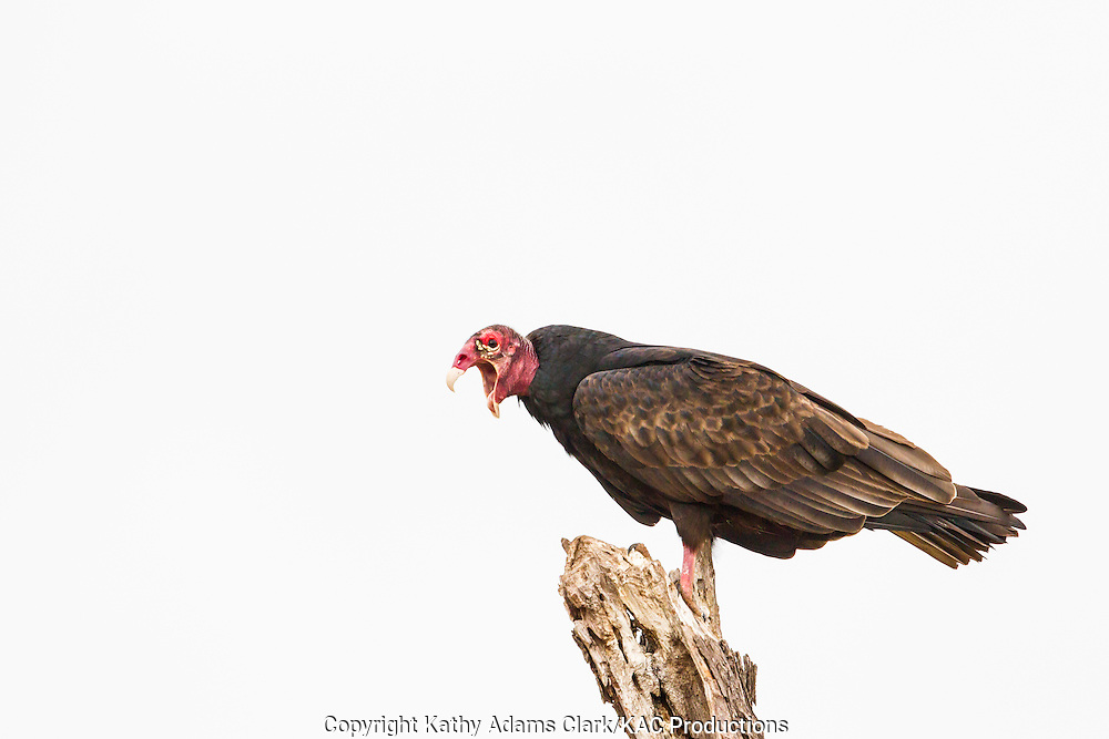 Turkey vulture, Cathartes aura, perched, coughing, San Jose Ranch, near Laredo, Texas.