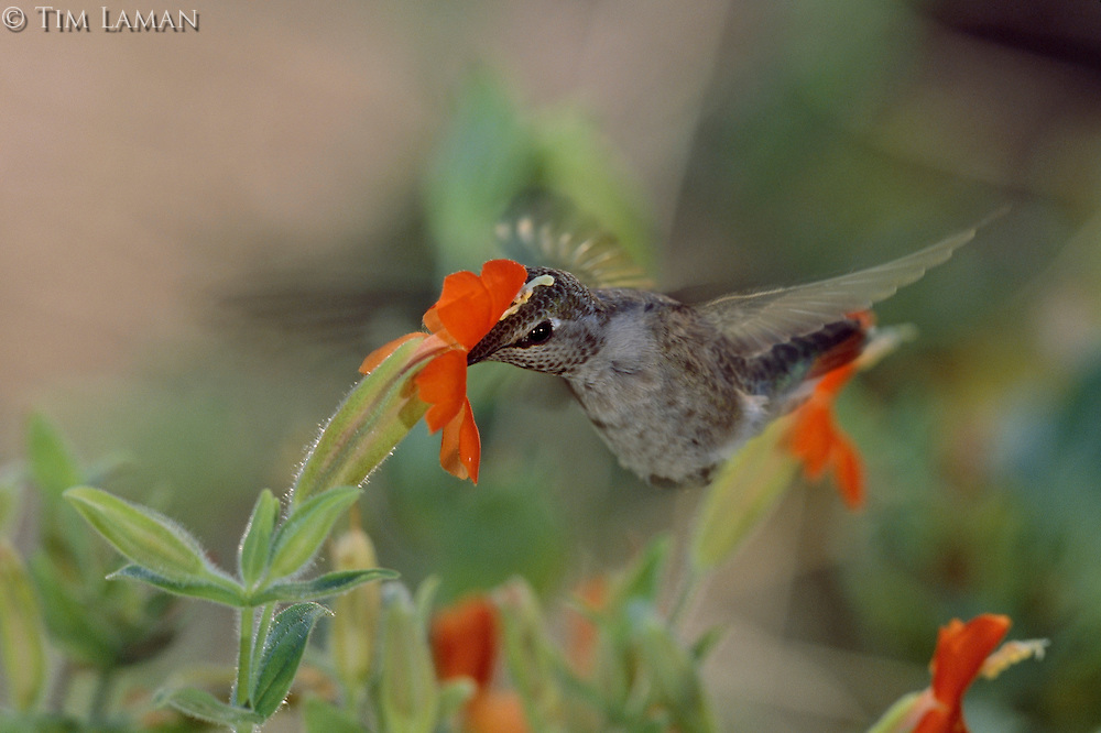 An Anna's hummingbird (Calypte anna) dips into a scarlet monkey flower.