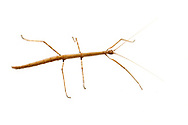 Walking Stick (Diapheromera sp.) - female, captive bred<br /> TEXAS: Travis Co.<br /> Austin<br /> 5-Jan-2014<br /> J.C. Abbott &amp; K.K. Abbott