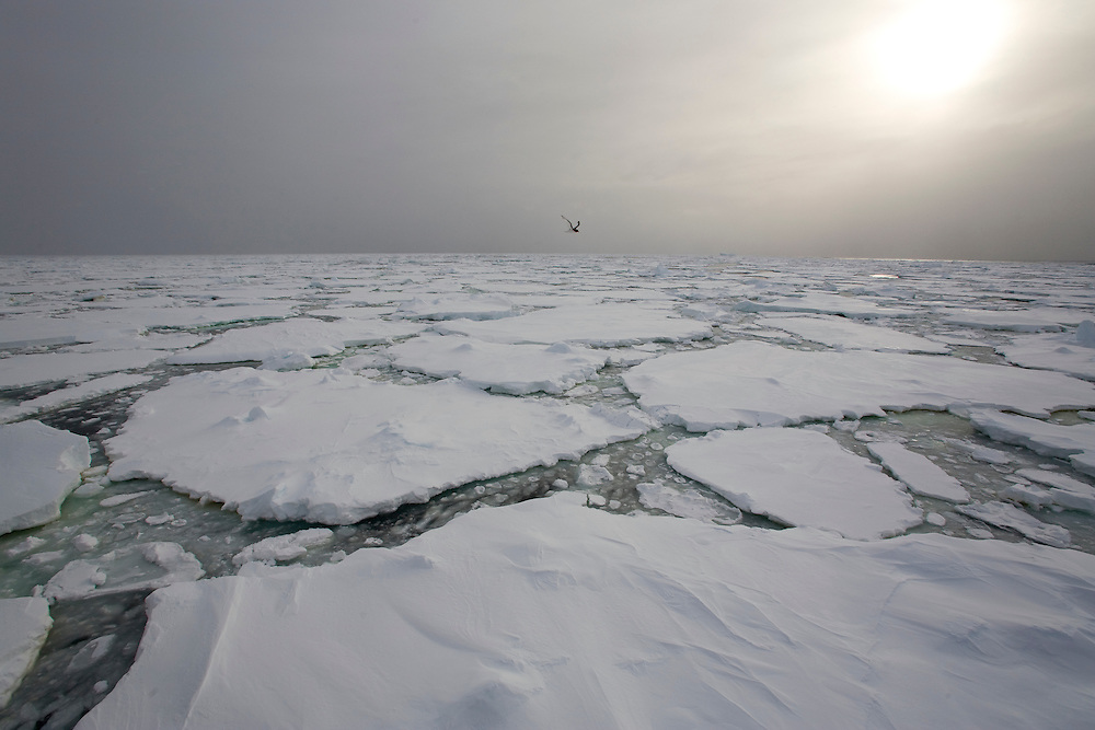 February 24th 2007. Ross Sea. Southern Ocean. A bird flies above sea ice in the Ross Sea.