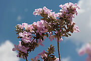 Texas Purple Sage or Cenizo, (Leucophyllum frutescens), Big Bend National Park, TX