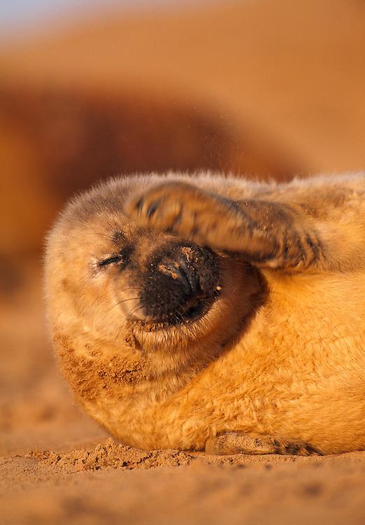 Atlantic grey seal pup scratching