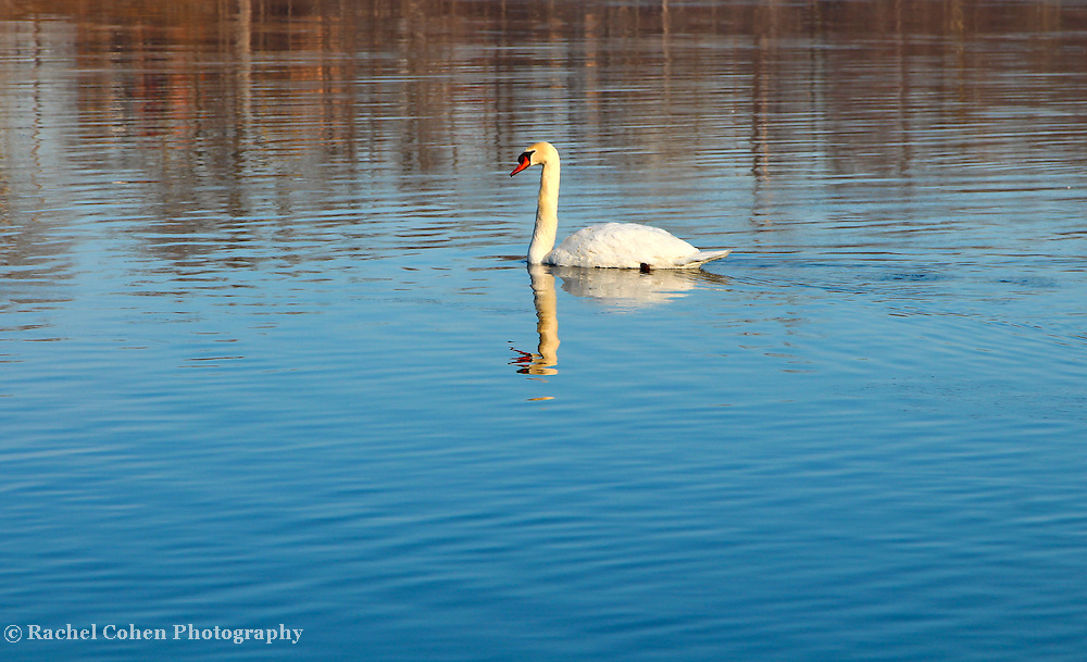 &quot;Self Reflection&quot;<br /> <br /> The beauty of a lovely swan and reflection on a cold winter day in waters of blue!!<br /> <br /> Nature of this World by Rachel Cohen
