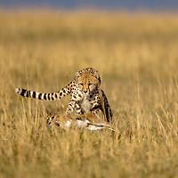 Africa, Kenya, Masai Mara Game Reserve, Cheetah (Acinonyx jubatas) chases down Thomson's Gazelle(Eudorcas thomsoni) calf in tall grass at dawn