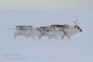 Svalbard reindeer (Rangifer tarandus platyrhynchus) eke out a living on Spitsbergen island's Broggerhalvoya peninsula amid the snows of early spring; Kongsfjorden, Svalbard.