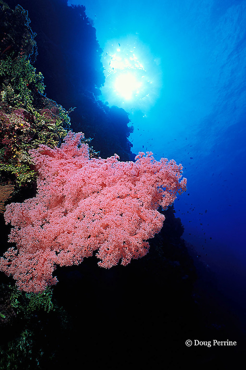 soft coral, Dendronephthya sp., Dart Reef, Coral Sea ( Western Pacific Ocean ), Australia