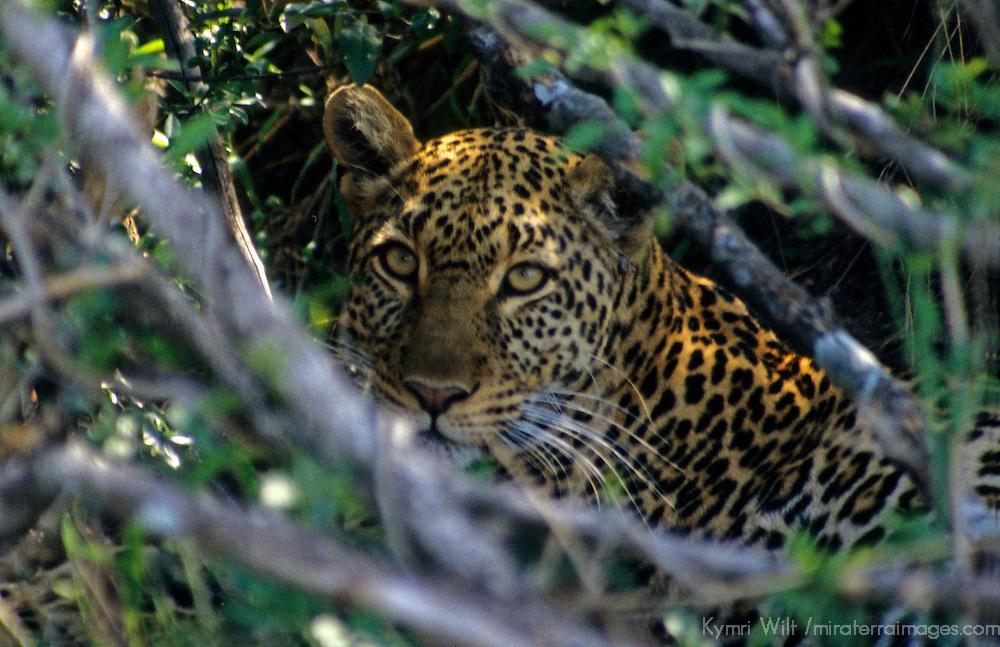 East Africa, Kenya. Leopard in hiding