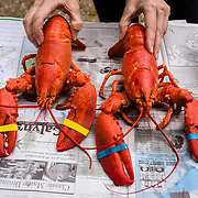 Rubber-banded lobster claws, Trenton Bridge Lobster Pound, Trenton, Maine, USA. Trenton Bridge Lobster Pound serves delicious lobsters boiled in fresh, clean seawater over a wood fire, plus other seafood. Address: 1237 Bar Harbor Rd, Trenton, ME 04605. Phone (207) 667-2977.
