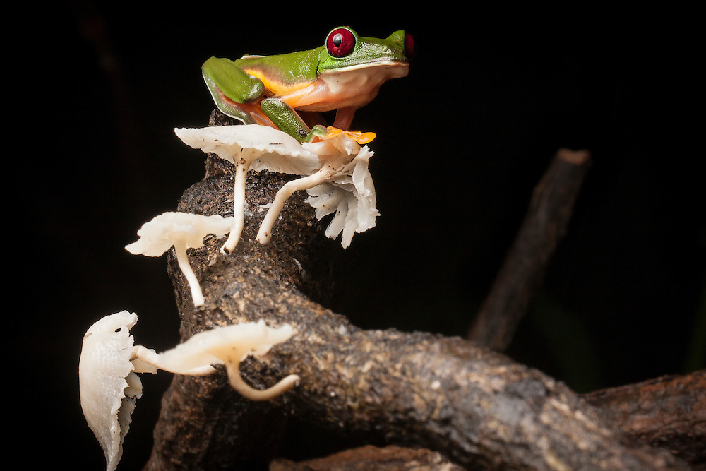 Gliding Treefrog, Agalychnis spurrelli, with mushrooms, found on the last night in the Osa Peninsula.
