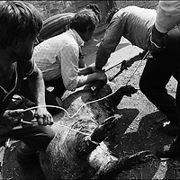 ABOUT TO SLAUGHTER A PIG FOR THE ROMANIAN ORTHODOX EASTER CELEBRATIONS. SINTESTI, ROMANIA, EASTER 1995..©JEREMY SUTTON-HIBBERT 2000..TEL./FAX. +44-141-649-2912..TEL. +44-7831-138817.