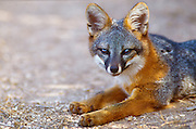 350606-1008 ~  Copyright:  George H. H. Huey ~ The Island fox [endangered species].  This subspecies occurs only on Santa Cruz Island.  Channel Islands National Park, California.
