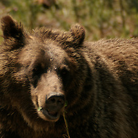 Female Grizzly Bear<br /> Yellowstone National Park<br /> Wyoming