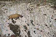 Desert Black rhinoceros (Diceros bicornis bicornis) Private Reserve<br /> Great Karoo<br /> SOUTH AFRICA<br /> ENDANGERED SPECIES. CITES 1