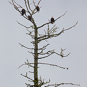 Four bald eagles (Haliaeetus leucocephalus) rest near the top of a snag along the Skagit River in the North Cascades of Washington state. Hundreds of bald eagles visit the area every winter to feast on the carcasses of spawning salmon.