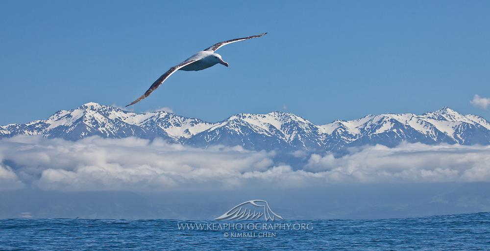 Wandering Albatross, flying in front of the Kaikoura Seaward Range, New Zealand