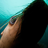 Canada, British Columbia, Hornby Island, Underwater view of Steller's Sea Lion (Eumetopias jubatus)