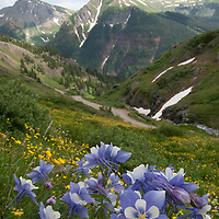 Colorado Columbine are the stars of the stow at 11,000 feet in the Mountains of Colorado