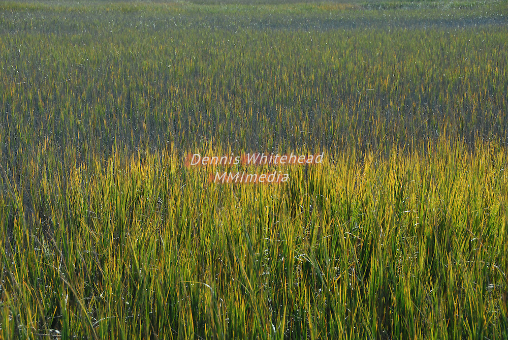 Marsh grass dennis whitehead mmimedia for Landscaping plants south carolina