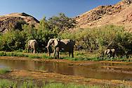 Desert Elephant (Loxodonta africana africana), Hoarusib River near Purros, Kaokoland, Kunene Region, Namibia