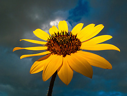 Sunflower against an evening sky.
