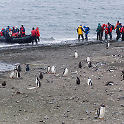 """Tourists line up for beach departure via Zodiac boat at a colony of Gentoo Penguins (Pygoscelis papua) on Aicho Island, Antarctica. An adult Gentoo Penguin has a bright orange-red bill and a wide white stripe extending across the top of its head. Chicks have grey backs with white fronts. Of all penguins, Gentoos have the most prominent tail, which sweeps from side to side as they waddle on land, hence the scientific name Pygoscelis, """"rump-tailed."""" As the the third largest species of penguin, adult Gentoos reach 51 to 90 cm (20-36 in) high. They are the fastest underwater swimming penguin, reaching speeds of 36 km per hour."""