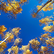 SHOT 10/1/12 4:49:09 PM - Aspen trees changing colors along Kebler Pass just outside of Crested Butte, Co. Populus tremuloides, the Quaking Aspen or Trembling Aspen, is a deciduous tree native to cooler areas of North America and is generally found at 5,000-12,000 feet. The name references the quaking or trembling of the leaves that occurs in even a slight breeze due to the flattened petioles. It propagates itself by both seed and root sprouts, and extensive clonal colonies are common. Each colony is its own clone, and all trees in the clone have identical characteristics and share a root structure. (Photo by Marc Piscotty / © 2012)