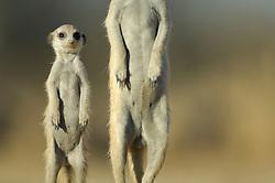Ab einem Alter von einem Monat sind junge Erdmännchen (Suricata suricatta) außerhalb der Höhle aktiv und werden von einigen Gruppenmitgliedern, sogenannten Helfern, im Territorium begleitet und mit Insekten versorgt. Die Geschicklichkeit des Jungtieres wird dadurch trainiert und die typische Körperhaltung des Wachpostens kann auch schon nachgeahmt werden. |  Aged one month and older the little Suricates or Slender-tailed Meerkats (Suricata suricatta) are active outside the burrow. They are accompanied by sub-adult or adult members of the social group, socalled helpers, which also supply them with prey. The skills of the young are trained and the typical upright position of the guard is already beeing imitated.