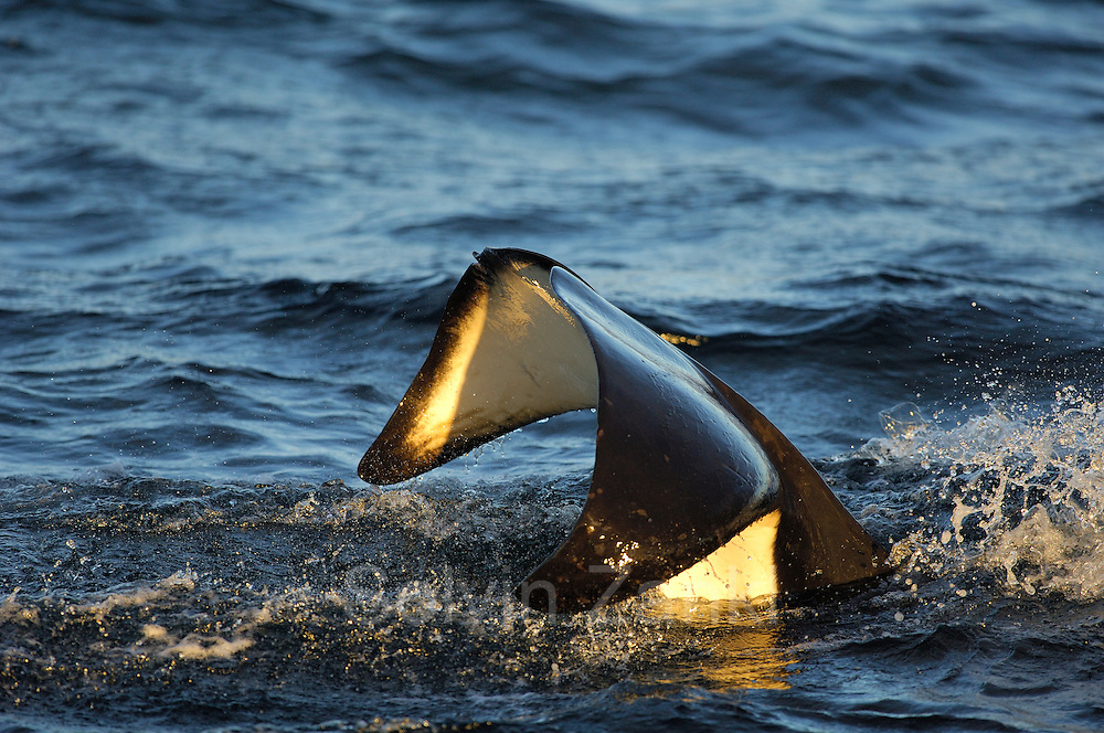 Orca or Killerwhale (Orcinus orca) feeding on herring in the Tysfjord area (Norway). Male Orcas grow up to 7 m, while females are aout 5 m in length. [size of single organism: 5 m]