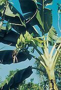 Slash-and-burn agriculture by Indians of Guiana Highlands of Venezuela: plantain banana plant.