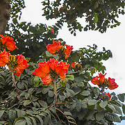 African Tulip Tree; United Republic of Tanzania