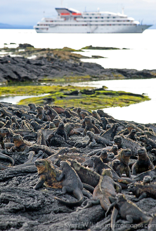 South America, Ecuador, Galapagos Islands. Marine Iguanas on Fernandina Island.