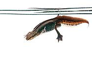 Male palmate newt swimming underwater (field studio)