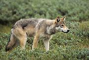 Alaska, Denali National Park. Wolf (Canis lupus) stalking prey. Wild.
