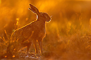 European Hare (Lepus europaeus) adult on farmland track at dusk, Norfolk, UK.