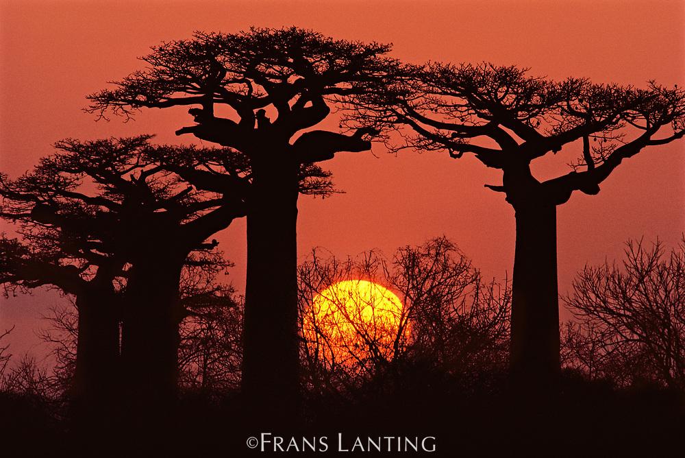 Baobabs in winter, Adansonia grandidieri, Western Madagascar
