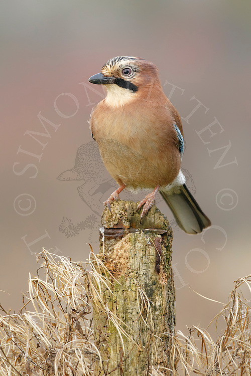 Eurasian Jay (Garrulus glandarius) adult, perched on post, South Norfolk, UK. December.