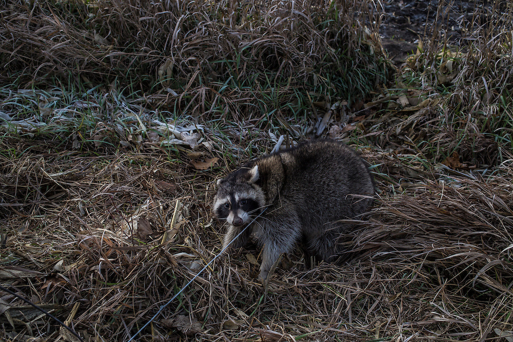 A raccoon, trapped in a snare by Bryan Dayton, awaits its fate on Saturday, November 17, 2012 in Webster City, IA.