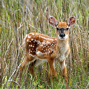 A Whitetail Deer fawn at the edge of a swamp, standing motionless.