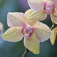 Phlaenopsis Moth Orchid ( Baldan&acute;s Caleidoscope )&amp;#xA;&copy; KIKE CALVO - V&amp;W&amp;#xA;( flower colorful plant garden spring tropical plant ornamental orchidaceae bloom blossom bouquet petal floral beautiful inspiring nature botanical<br />