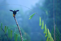 Twelve-wired Bird of Paradise (Seleucidis melanoleuca) male at display perch in the swamp rain foerst at Nimbokrang, Papau, Indonesia, Island of New Guinea..
