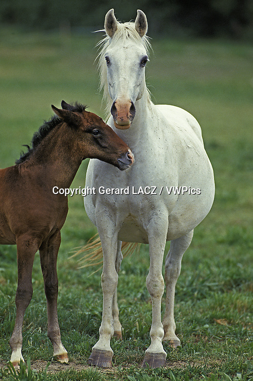 Lipizzan Horse, Mare and Foal