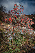 Persimmons, the symbol of autumn in Japan have hung on into winter along the coast of Tohoku this year.  Near Rikuzen-Takata, Iwate Prefecture, Japan.