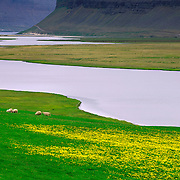 Sheep grazing in the Westfjords of Iceland, Europe
